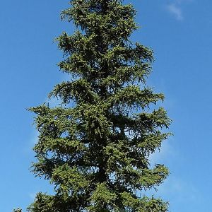 Firtree Picea Abies
